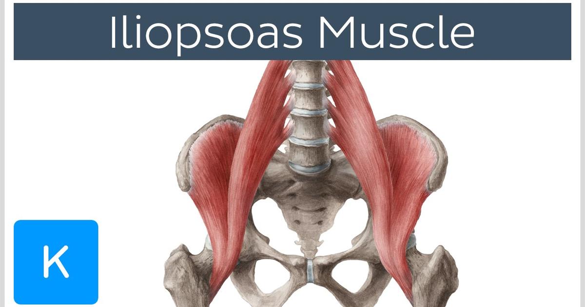 Iliopsoas Muscle - Action / Function, Anatomy & Innervation - Human ...