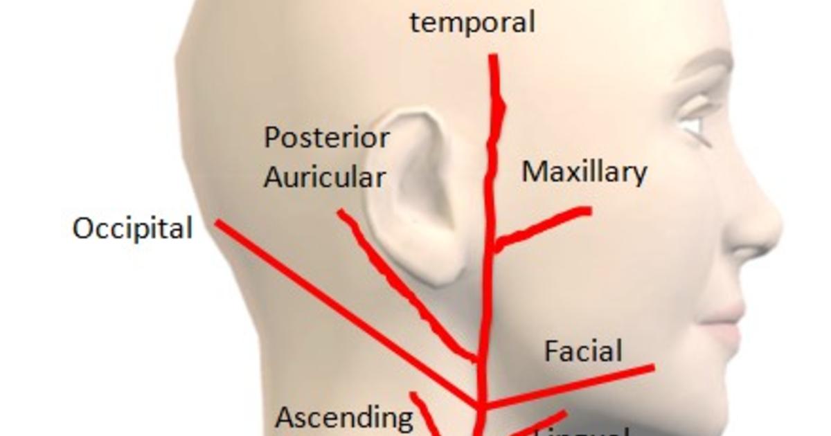 Branches External Carotid Arteryg On Meducation