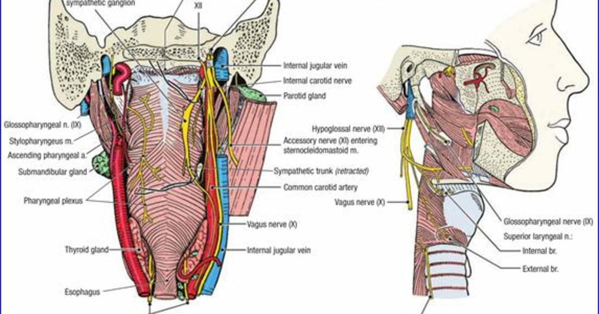 Duke Anatomy - Lab 22: Retropharyngeal space on Meducation
