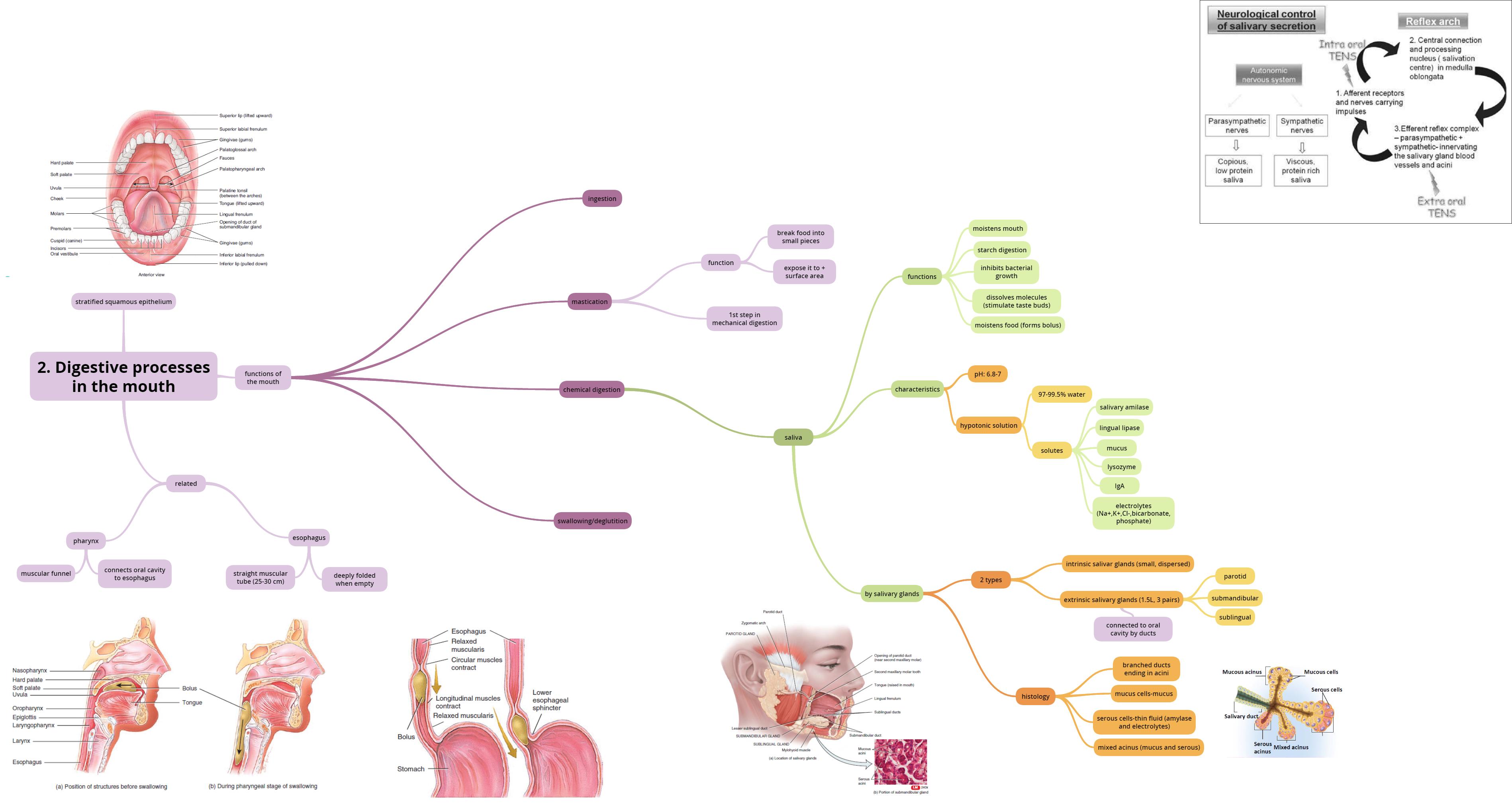 Digestive System Mind Map On Meducation