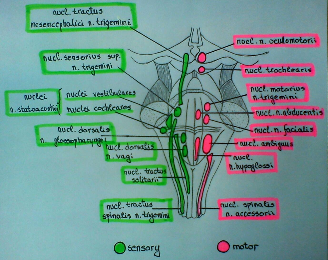 Cranial nerve nuclei in brainstem (schema)