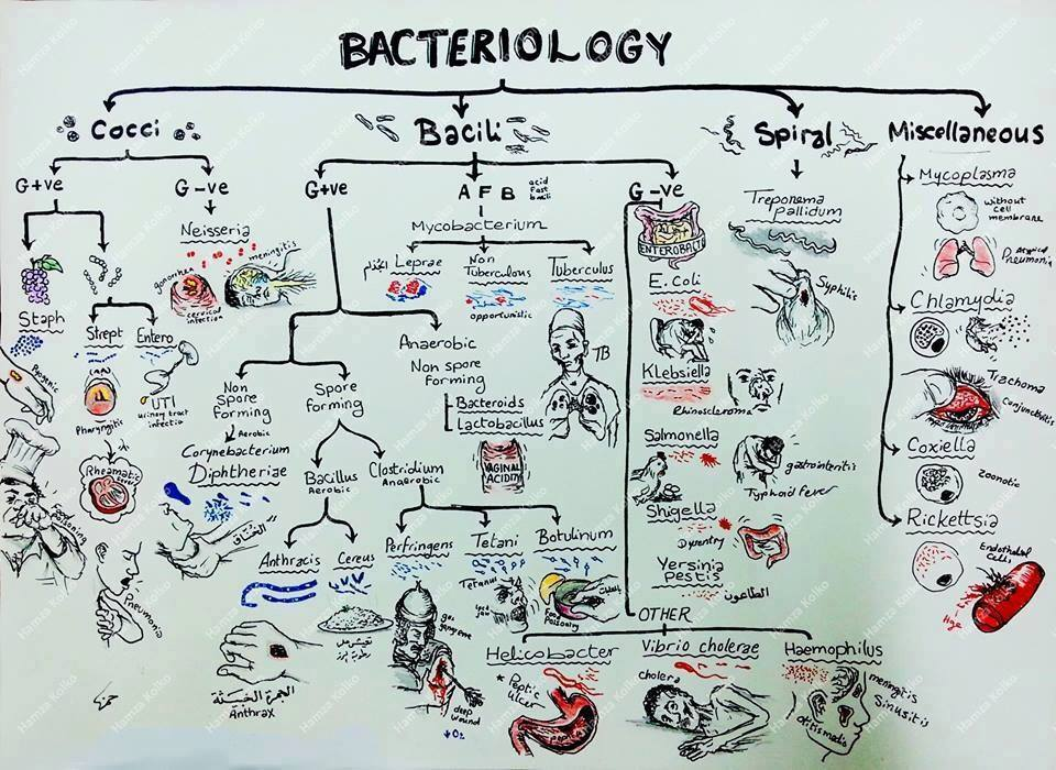 Bacteriology Map: Cocci, Bacili and Spiral