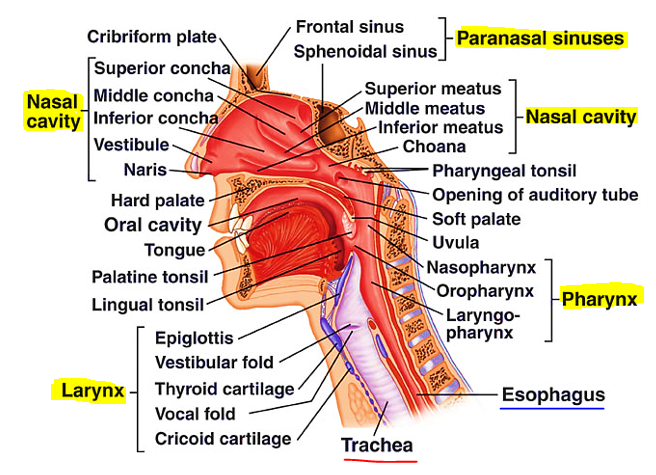 Anatomy of the upper respiratory system on Meducation