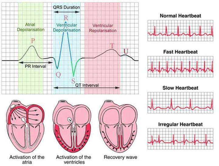 Activation of atria, ventricles and recovery wave