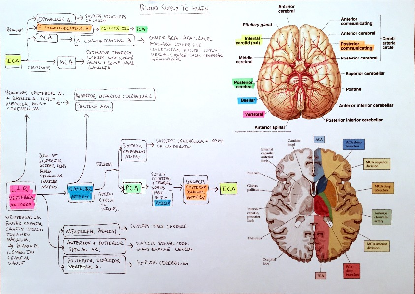 Flowchart - Blood Supply to The Brain and Venous Sinus Drainage of ...