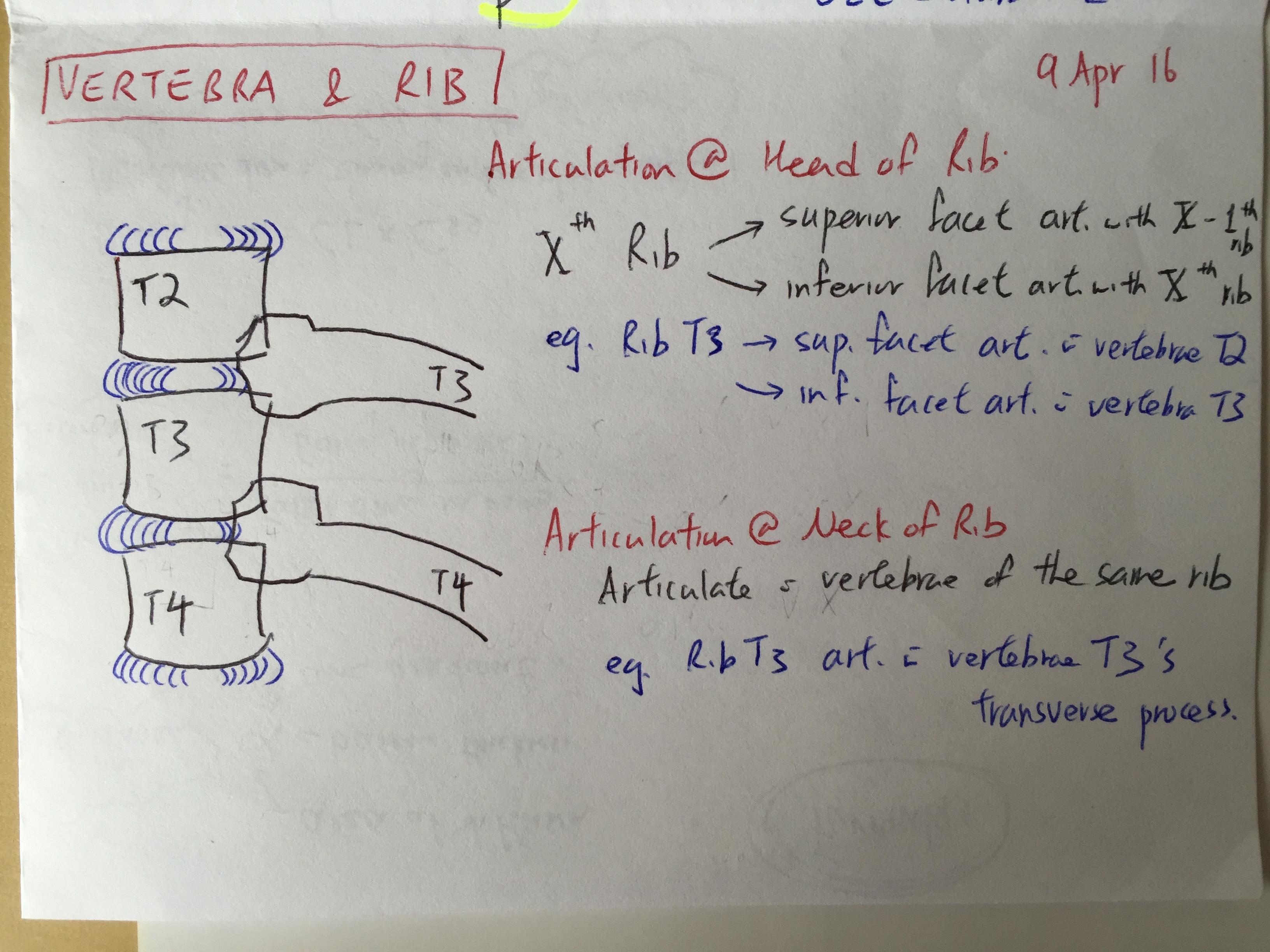 spine anatomy: vertebra and corresponding rib