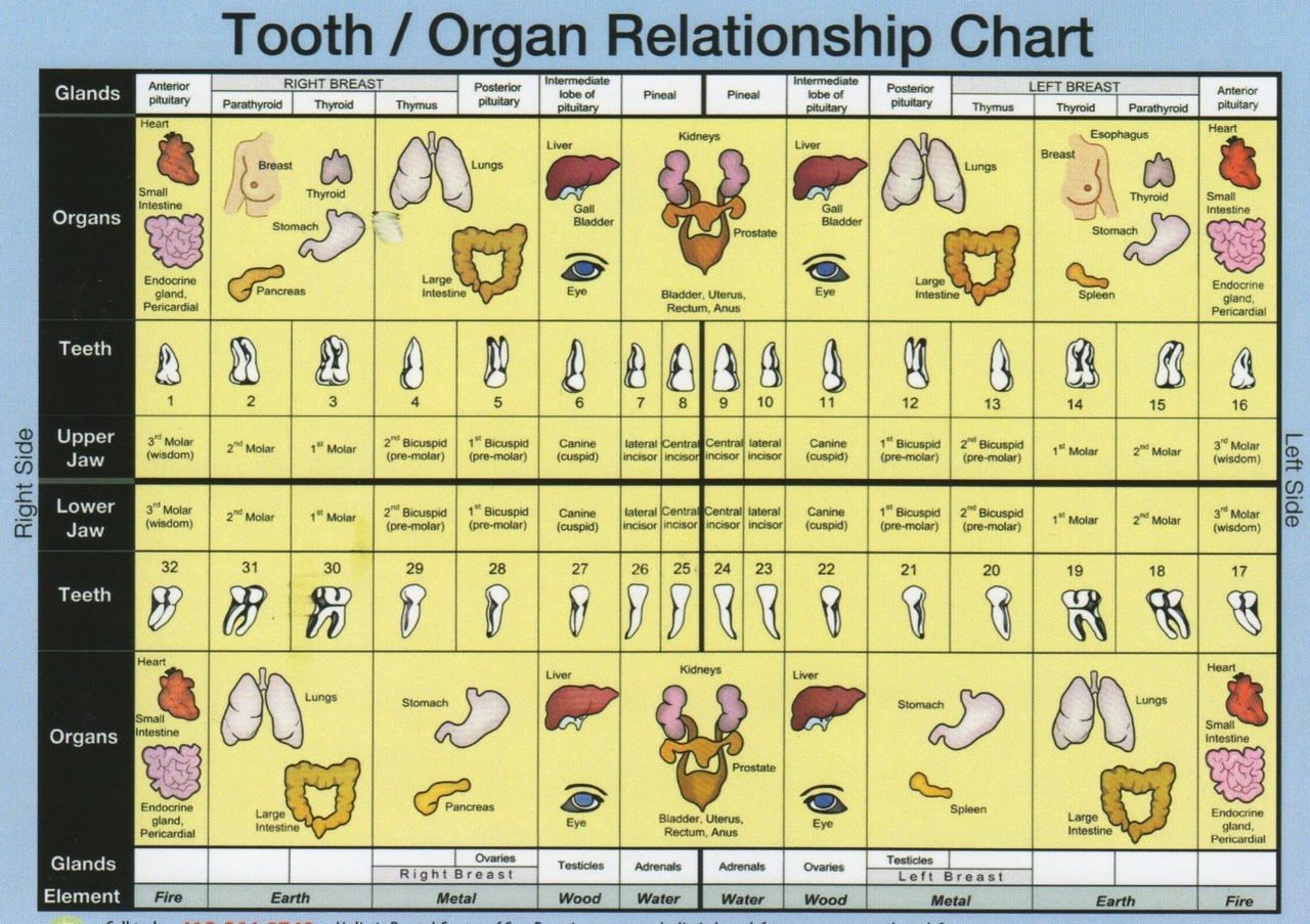 Tooth/Organ Relationship Chart (includes glands & elements)