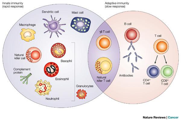 Adaptive Immunity vs Innate Immunity