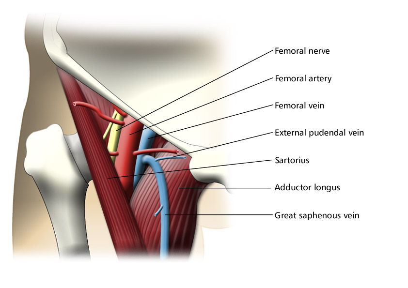 Femoral Triangle (Labeled)