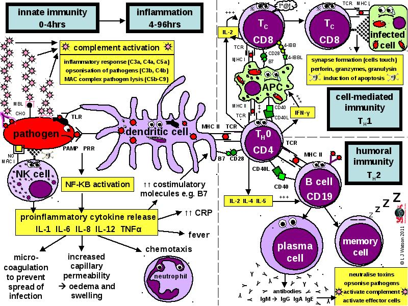 Immune Response Summary Diagram