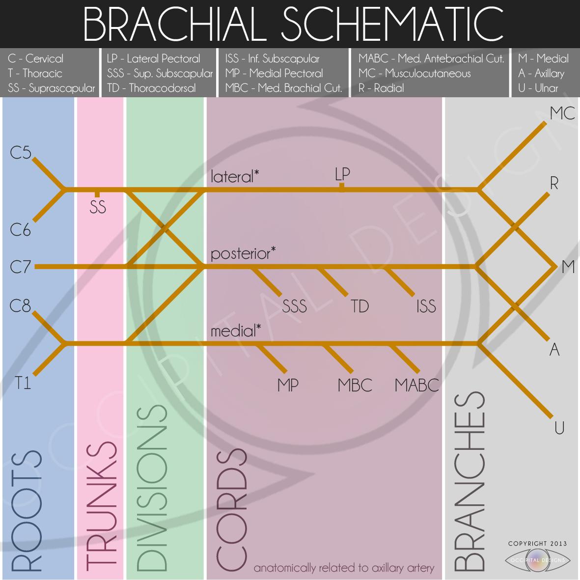 Brachial Schematic