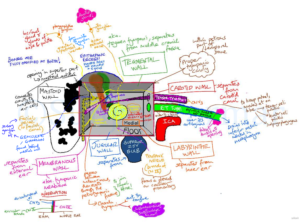 Anatomical relations of the Middle ear (Visual mnemonic) on Meducation