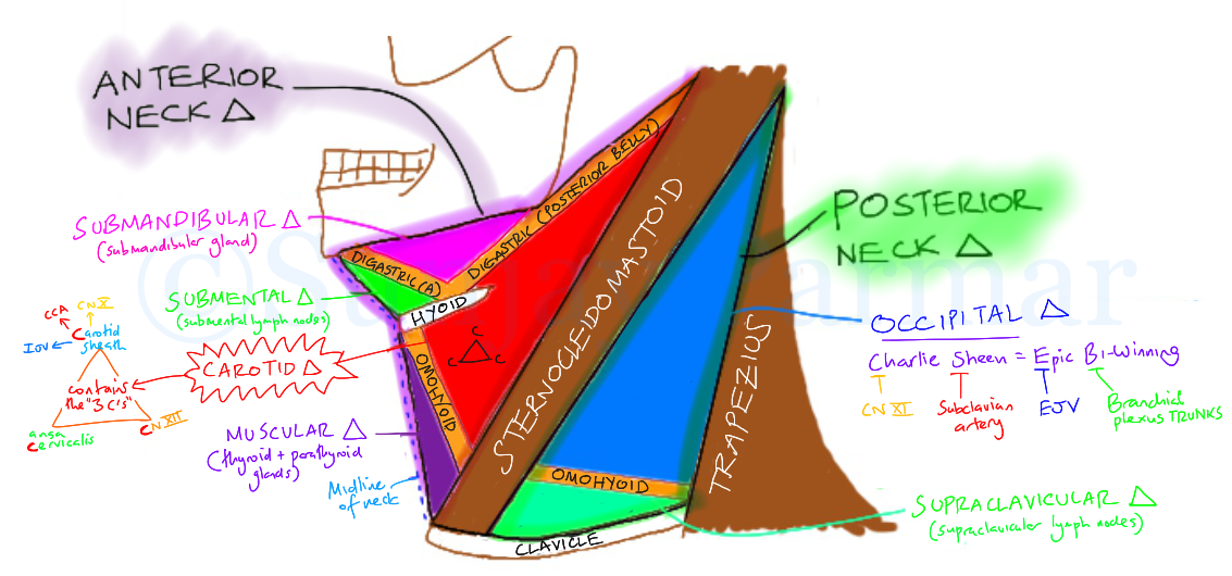 Triangles of the Neck (Visual mnemonic) on Meducation