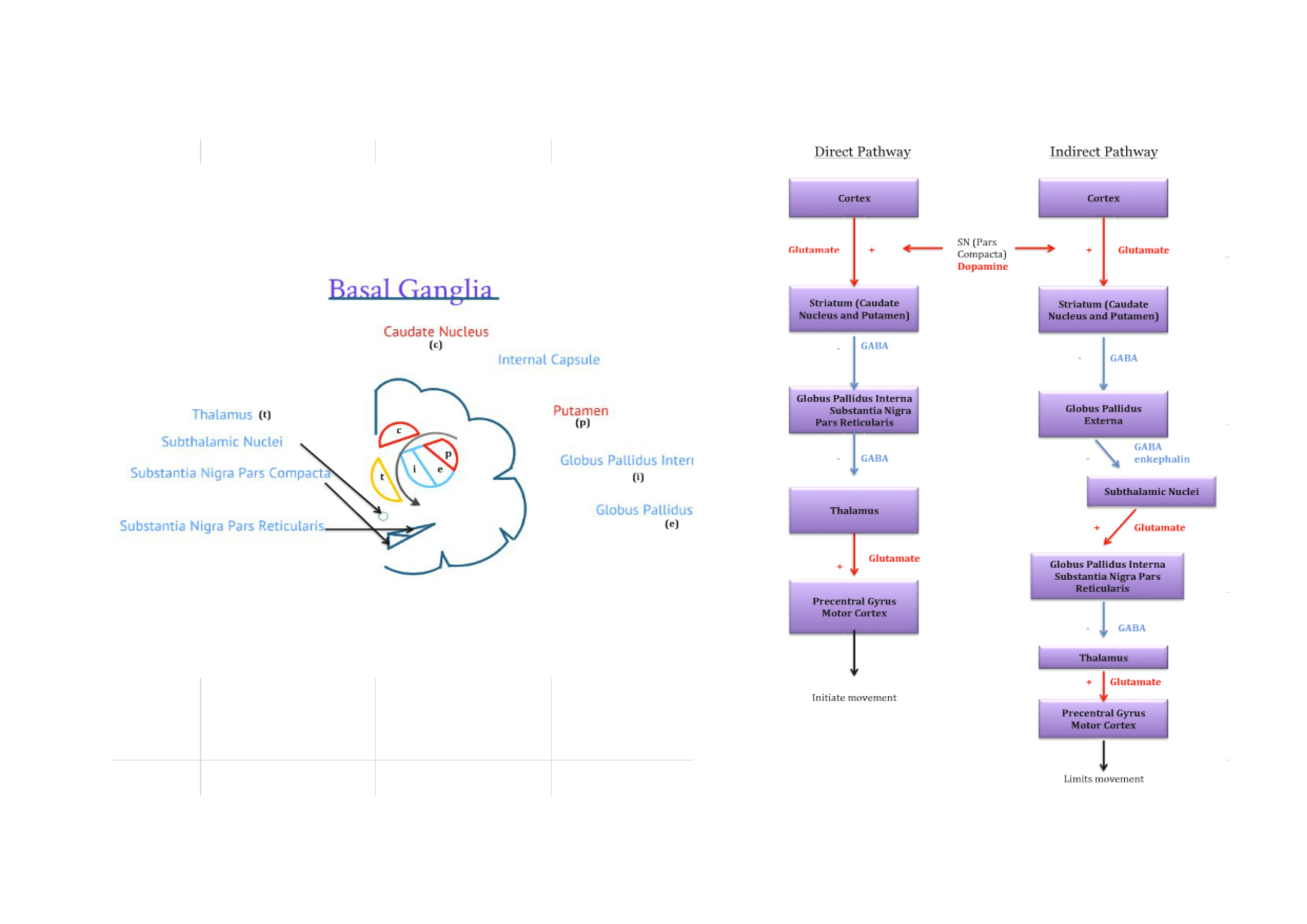 Basal Ganglia Structure and Pathways