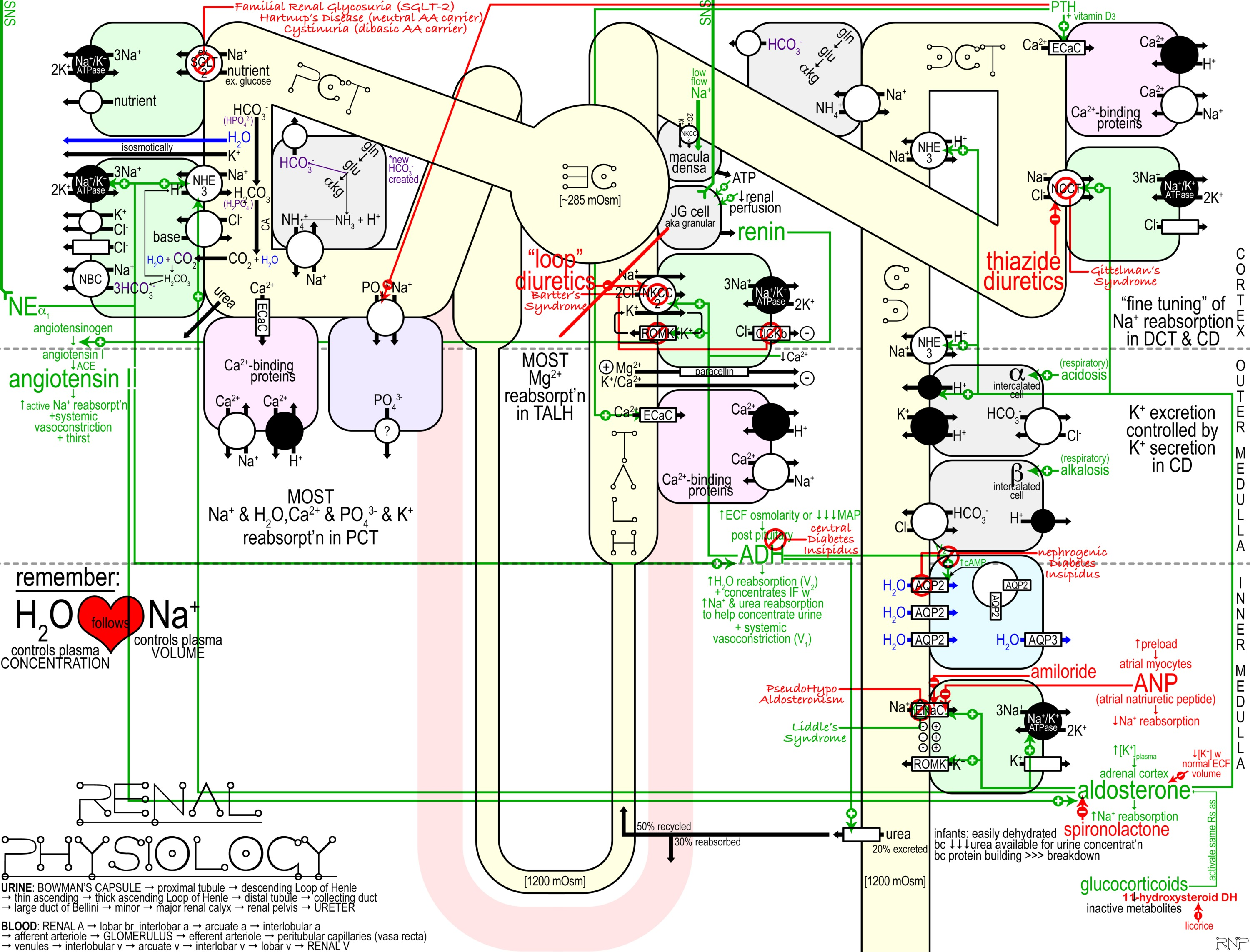 Overview of Renal Physiology Schematic